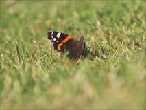 Butterfly take off. Video footage of a red admiral british butterfly or vanessa atalanta resting in grass before take off stock video footage