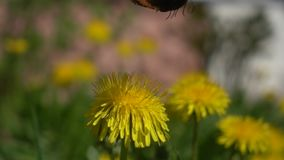 Butterfly takes off from dandelion. Slow motion stock video footage