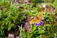 Butterfly with tattered wings, top view, on a grass Stock Photo