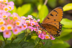 Butterfly Tawny Coster Acraea violae. In the garden stock photos