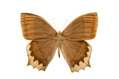 Butterfly taygetis chrysogone. Isolated on white background Royalty Free Stock Photo
