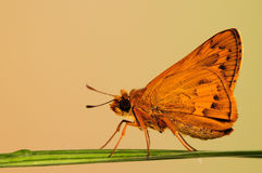 BUTTERFLY/ Telicota ohara  Stock Photography