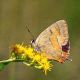 Butterfly - Thecla Betulae Stock Photography