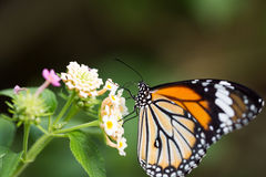 Butterfly Royalty Free Stock Photography