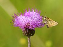 The butterfly on a thistle. The butterfly a moth sits on a thistle flower Stock Photos