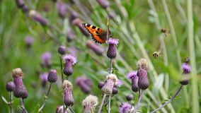 Butterfly on a thistle. Beautiful butterfly sitting on a thistle flower Royalty Free Stock Images