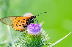 Butterfly on thistle blossom Royalty Free Stock Images