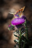 Butterfly and thistle Stock Images