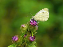 Butterfly on a thistle flower Royalty Free Stock Photos