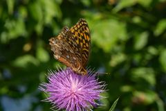 Butterfly and Thistle. Great Spangled Fritillary feeding on a thistle flower Stock Photography