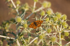 Butterfly on Thistle Royalty Free Stock Photography