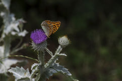 Butterfly on thistle Royalty Free Stock Photo