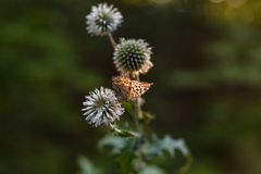 Butterfly on Thistle in the rays of the sunset on the blurred background of the forest. Natural summer background