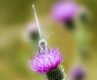 Butterfly on a thistle Royalty Free Stock Image
