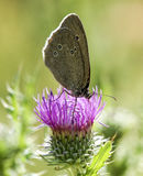 Butterfly on a thistle Stock Photography