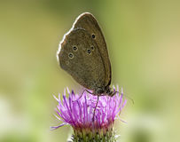 Butterfly on a thistle Stock Images