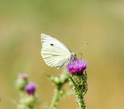 Butterfly on a thistle Stock Photo