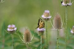 Butterfly on a thistle royalty free stock photography