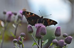 Butterfly between thistles Royalty Free Stock Photo