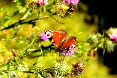 Butterfly on the thorn. Is great for your online presentation, printed materials, graphics, design, roll up, banner, details Royalty Free Stock Images