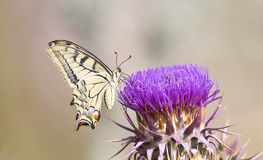 Butterfly On A Thorn (Papilio Machaon) Royalty Free Stock Images