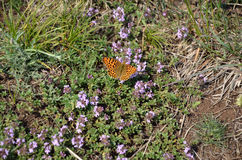 Butterfly and thyme Stock Photo