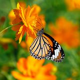 Butterfly Tiger or Danaus genutia with orange flower background. Orange butterfly Oriental striped tiger or Danaus genutia, Danainae family, hanging on a double royalty free stock image