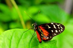 Butterfly, Tiger Longwing Royalty Free Stock Images