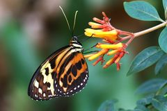 Butterfly Tiger Mimic Lycorea halia cleobaea tropical milkweed butterfly. Nature Stock Photo