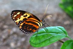 Butterfly Tiger Mimic Lycorea halia cleobaea tropical milkweed butterfly. Nature Royalty Free Stock Photography