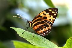 Butterfly Tiger Mimic Lycorea halia cleobaea tropical milkweed butterfly. Butterflies Royalty Free Stock Photos