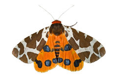 Butterfly tiger-moth (Arctia caja) 3 stock photos