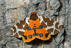 Butterfly tiger-moth (Arctia caja) 5 Stock Photo