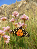 Butterfly tiger moth (arctia caja), sitting on a primrose flower Royalty Free Stock Images