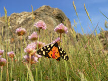 Butterfly tiger moth (arctia caja), sitting on a primrose flower Royalty Free Stock Image