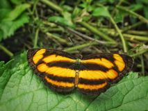 Butterfly with tiger skin pattern royalty free stock photography