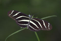 Butterfly. A tiger stripped butterfly Royalty Free Stock Photos