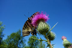 Butterfly Tiger Swallowtail Stock Photos