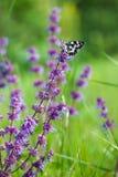 Butterfly (Tirumala hamata orientalis) Royalty Free Stock Image