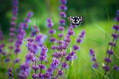 Butterfly (Tirumala hamata orientalis) Stock Photography