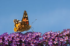 Butterfly at the start. Vanessa cardui. stock photos