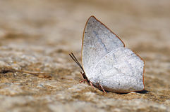 Butterfly(Toothed Sunbeam) Royalty Free Stock Image
