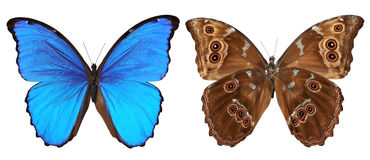 Butterfly Top And Bottom View Royalty Free Stock Photo
