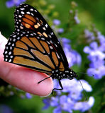 Butterfly Touch. Macro photo of Monarch butterfly providing an inspirational landing on photographers finger. Image taken with Nikon 8700 digital at 8.0 mpx royalty free stock images