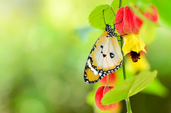 Butterfly on trailing abutilon flower Royalty Free Stock Image