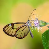 Butterfly with transparent `glass` wings Greta oto closeup sitting and drinking nectar. From a pink flower with green leaves. Photo in square format with green Royalty Free Stock Photography