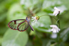 Butterfly with transparent wings Stock Images