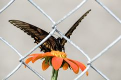 Butterfly trapped behind a fence royalty free stock images