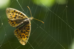 Butterfly trapped in the cobweb Stock Photography