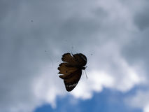 Butterfly Trapped in a Spider Web Royalty Free Stock Photography